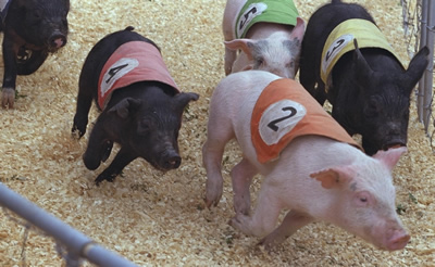 Pig Racing at Craigievern Farm, Drymen